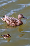 Duck with duckling Royalty Free Stock Images