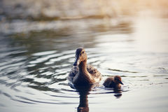 Duck with duckling float in the river Royalty Free Stock Image