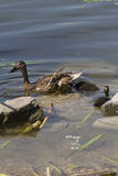 Duck and duckling on lake Stock Photos