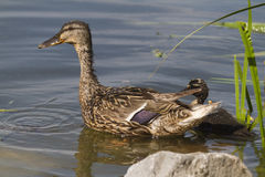 Duck and duckling on lake Royalty Free Stock Photography