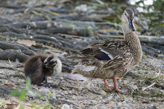 Duck and duckling on lake Stock Images