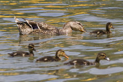 Duck with duckling on lake Stock Photography
