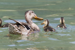 Duck with duckling on lake Royalty Free Stock Image