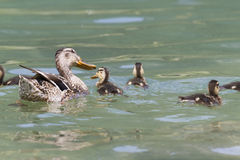 Duck with duckling on lake Royalty Free Stock Images