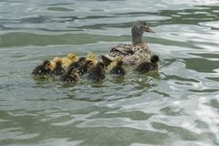 Duck and duckling on lake. Cute duck and duckling on lake Royalty Free Stock Photos