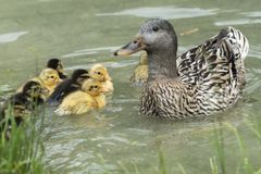 Duck and duckling on lake. Cute duck and duckling on lake Stock Image