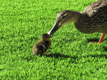 Duck and duckling Stock Photography