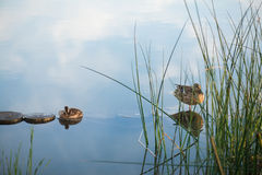 Duck and duckling in the morning autumn Lake with grass on foreground Royalty Free Stock Image