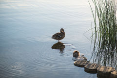 Duck and duckling in the morning autumn Lake with grass on foreground Stock Photos