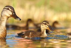 Duck and duckling Stock Image
