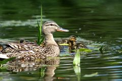 Duck with a duckling in a pond. Close-up stock images