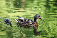 Duck with duckling in pond Stock Image