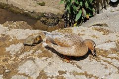Duck and duckling on riverbank. Stock Images