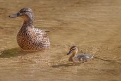Duck with duckling in shallow water. Cute ducklings following mother,duck babies,symbolic figurative harmonic peaceful animal family, close-up portrait royalty free stock image