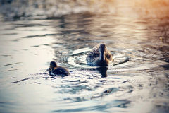 Duck with duckling swims in the evening in the pond. The duck with duckling swims in the evening in the pond Royalty Free Stock Photo