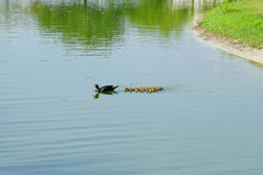 Duck and duckling Royalty Free Stock Image