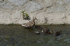 Duck with ducklings. Nice small duck with ducklings stock images