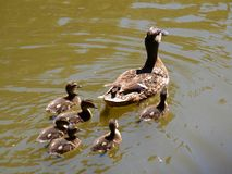 A duck with the ducklings. Swimming on a pond royalty free stock images