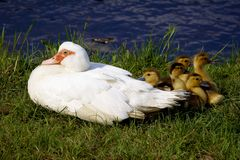 Duck with ducklings. A duck with a ducklings on the grass near the water Royalty Free Stock Image