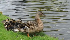 Duck and ducklings. On river bank Royalty Free Stock Image