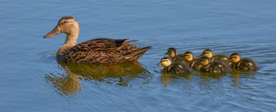 Duck with ducklings Royalty Free Stock Image