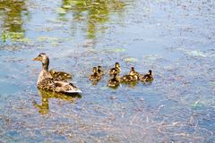 Duck and Ducklings stock photo