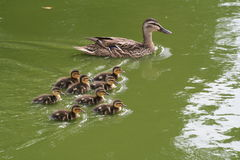 Duck with ducklings. Mother ducking swimming with ducklings Stock Images