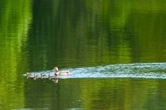 Duck with ducklings. Are swimming across lake Stock Photos