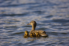Duck with Ducklings. On Lake Royalty Free Stock Photography