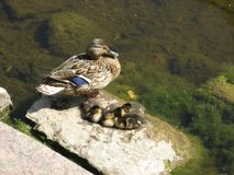 Duck with ducklings. Bask in the sun Stock Image