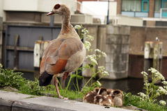 Duck with ducklings on canal bank. Brown and black mother duck standing beside a brood of ducklings in a nest beside the canal, urban background Stock Photo
