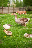Duck with ducklings and a cow Royalty Free Stock Photo