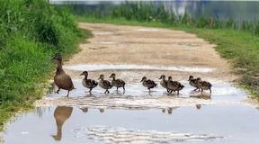 A duck and ducklings crossing a path Royalty Free Stock Photo