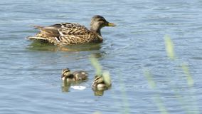 Duck with ducklings. Floating on the lake and looking for food stock video footage
