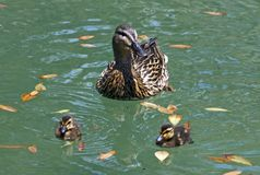 Duck with ducklings. Duck with ducklings floating on the water stock image