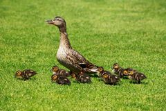 Duck with ducklings royalty free stock images