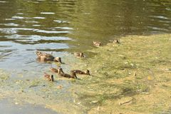 Duck with ducklings. On the water of lake stock image