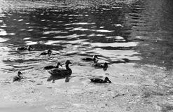 Duck with ducklings. On the water of lake. Black and white royalty free stock photo