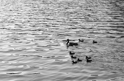 Duck with ducklings. On the water of lake. Black and white royalty free stock photos