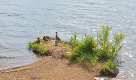 Duck with ducklings. Duck with small ducklings on coast of lake stock photos