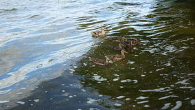 Duck and ducklings eat bread, swim on the waves.