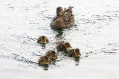 Duck and ducklings family royalty free stock image