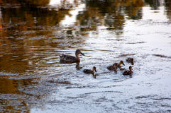 Duck and ducklings Royalty Free Stock Image