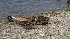 Duck with ducklings feed stock video