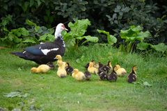 Duck with ducklings. A duck with ducklings on a field near a river royalty free stock image