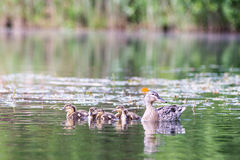 Duck with the ducklings first time in the water Stock Photography