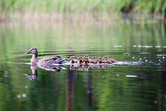 Duck with the ducklings first time in the water Royalty Free Stock Images