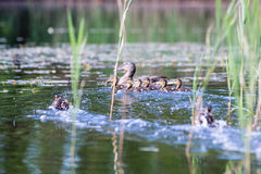 Duck with the ducklings first time in the water Royalty Free Stock Image