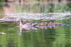 Duck with the ducklings first time in the water. On the lake at summer royalty free stock image