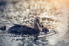 Duck with ducklings float in the evening in the lake. The duck with ducklings float in the evening in the lake royalty free stock photos